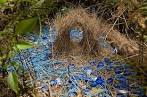 Images & Illustrations of bowerbird