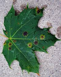 Why do my <b>maple leaves</b> have spots?! - MSU Extension