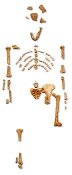 Lucy  Australopithecus    Wikipedia