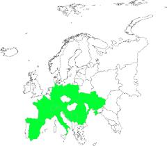 Arten - Zusammenneigender Frauenmantel (Alchemilla connivens ...