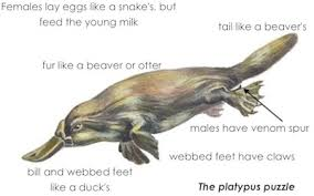 Image result for platypus