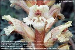 Orobanche_artemisiae-campestris_Grupo botánico cantábrico