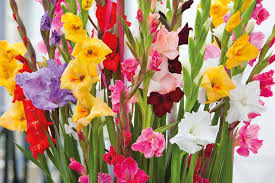 Learn How To Plant, Care and Grow Impressive Gladiolus