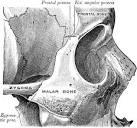 malar bone
