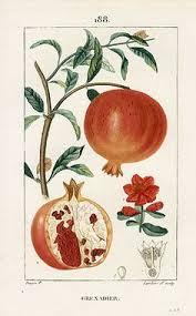 Image result for pomegranates botanical drawing