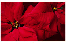 Poinsettia Care Guide: Tips and Tricks - FTD.com