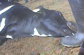 essays on animal cruelty in slaughterhouses   essaythe daily maul where there  s always blood in water