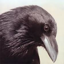 Image result for beautiful crows