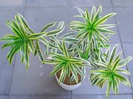 Image result for dracaena reflexa indonesia