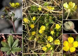 Potentilla heptaphylla L. subsp. australis (Nyman) Gams - Sistema ...