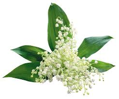 زهور ليليا الوادي Lily of the Valley Images?q=tbn:ANd9GcSja93urYaLszg-UCACKWRY0Ap_9nKlSx7175JUdjgEnK5i1Lpg