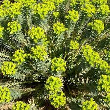 Euphorbia rigida at San Marcos Growers