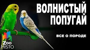 Волнистый попугай - Все о породе | Попугай породы - Волнистый ...