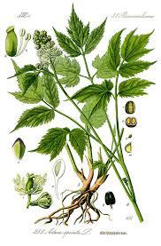 Actaea spicata — Wikipédia