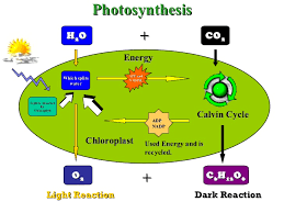 process of photosynthesis diagram photo album   diagramsged science practice test metabolic processes photosynthesis