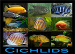 family cichlidae