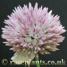 Allium acutiflorum – RarePlants