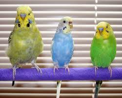 muhabbet kuşu jumbo ile ilgili görsel sonucu