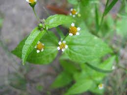Galinsoga parviflora - Wikipedia