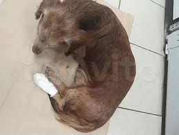 Собаки и щенки   породы <b>Такса</b>: купить недорого в Таганроге ...