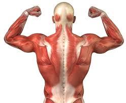Resultado de imagen de musculatura sin nombres
