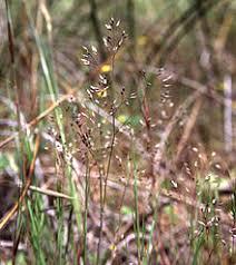 Aira caryophyllea - Wikipedia