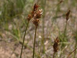 Carex stenophylla – Wikipedia