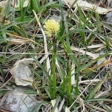 Le schede monografiche dell'Oasi di San Gherardo - Carex flacca ...