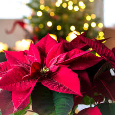 NATIONAL POINSETTIA DAY - December 12, 2019 | National Today