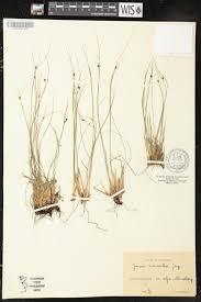 SEINet Portal Network - Juncus monanthos