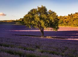 <b>Lavender fields</b> in Provence: secret tips by a local - Itinera-magica.com