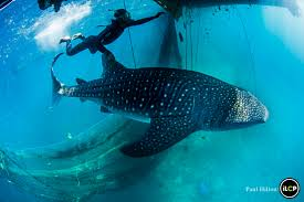 different assignment there is no dom here and whale sharks shown here swimming in a netted pool were recovered as part of an operation