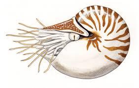 Nautilus pompilius: INFORMATION - ADW