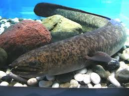 Giant mottled eel