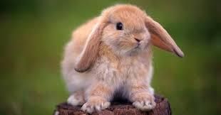 <b>Кролик</b> – описание, породы, виды, фото, <b>декоративные кролики</b>