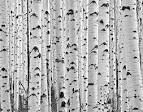 Images & Illustrations of white aspen
