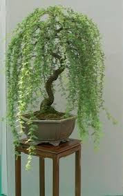 a weeping willow bonsai tree want one for yourself to add to your home dcor add bonsai office interior