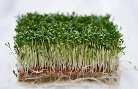 <b>Кресс салат</b> на подоконнике: как выращивать самостоятельно - 3 ...
