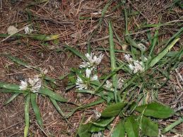 Allium chamaemoly L. - Aglio minuscolo - Forum Acta Plantarum