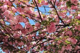 「芦屋の八重桜画像」の画像検索結果