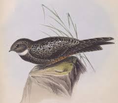 Short-tailed nighthawk