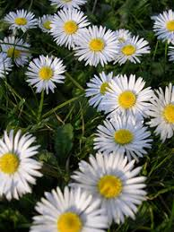 Image result for english daisy bellis perennis