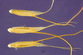 Plants Profile for Lagurus ovatus (harestail grass)