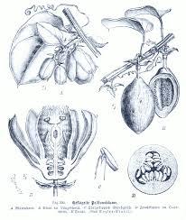 Passifloraceae - Wikipedia