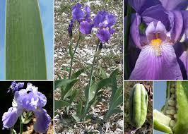 Iris cengialti Ambrosi ex A.Kern. - Portale alla flora del Parco ...