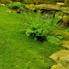 Image result for Thuidium Fern Moss