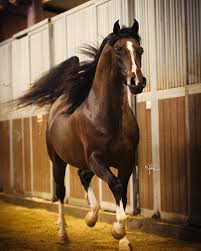 Major <b>Mac</b> V - Varian Arabians - Stallions at <b>Stud</b>, Horses for Sale ...