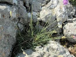 Dianthus arrostii
