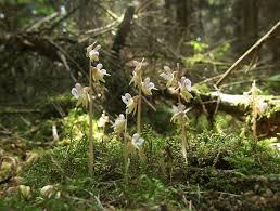 Epipogium aphyllum - Wikipedia