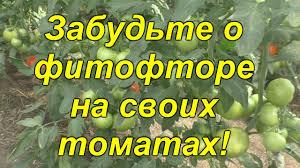 Почему у нас НЕТ <b>фитофторы</b> на томатах [<b>защитный</b> комплекс ...